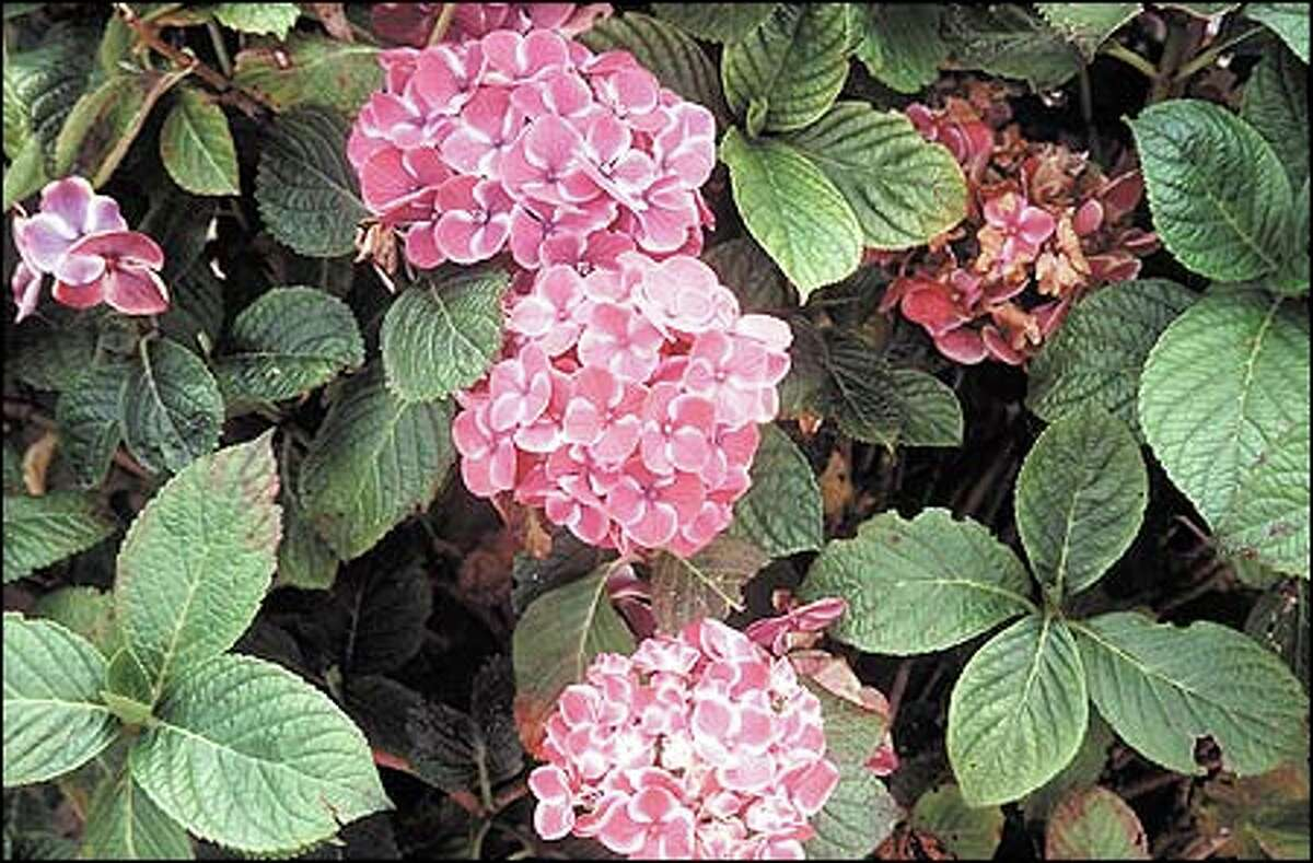 Plant a pink 'Buttons 'N Bows' is a hortensia. The pink petals of the sterile florets are edged in white. It is reported to stay pink in any soil.