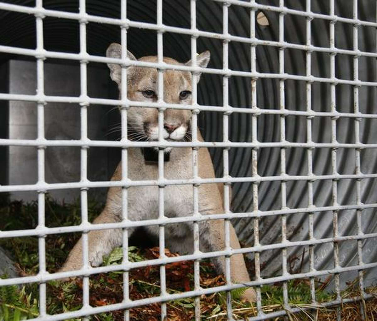 A male cougar is housed in a temporary cage after it was captured in Seattle's Discovery Park on Sunday. It had lived in Seattle for more than two weeks and forced the city's largest park to close. The cougar was returned to the wild, state wildlife officials said. (AP Photo/Kevin P. Casey)