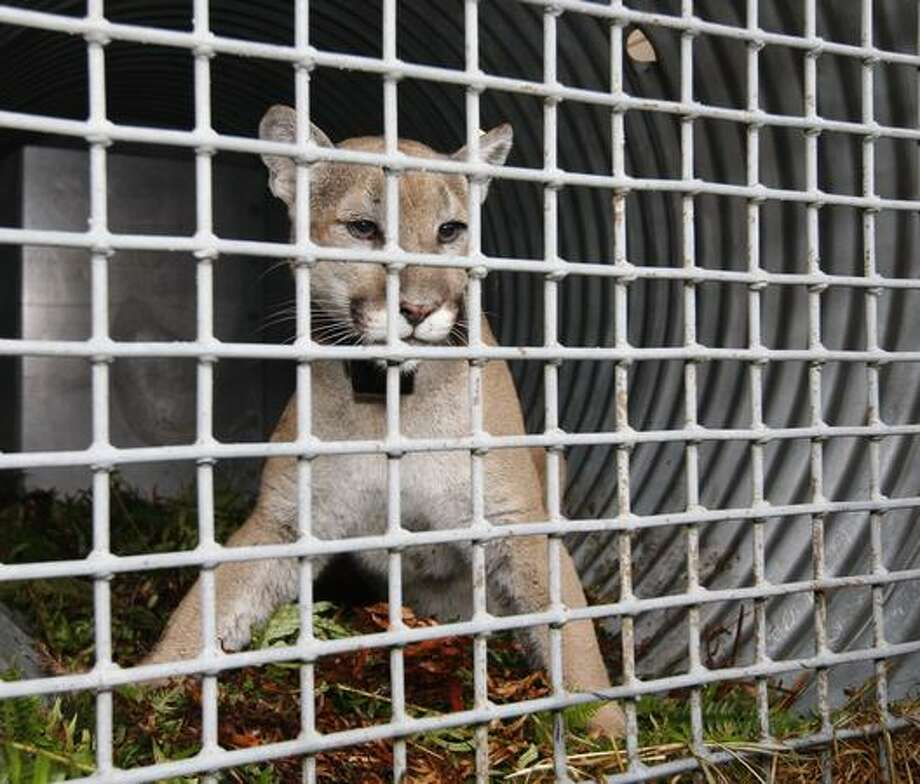 A male cougar is housed in a temporary cage after it was captured in Seattle's Discovery Park on Sunday. It had lived in Seattle for more than two weeks and forced the city's largest park to close. The cougar was returned to the wild, state wildlife officials said. (AP Photo/Kevin P. Casey) Photo: Associated Press / Associated Press