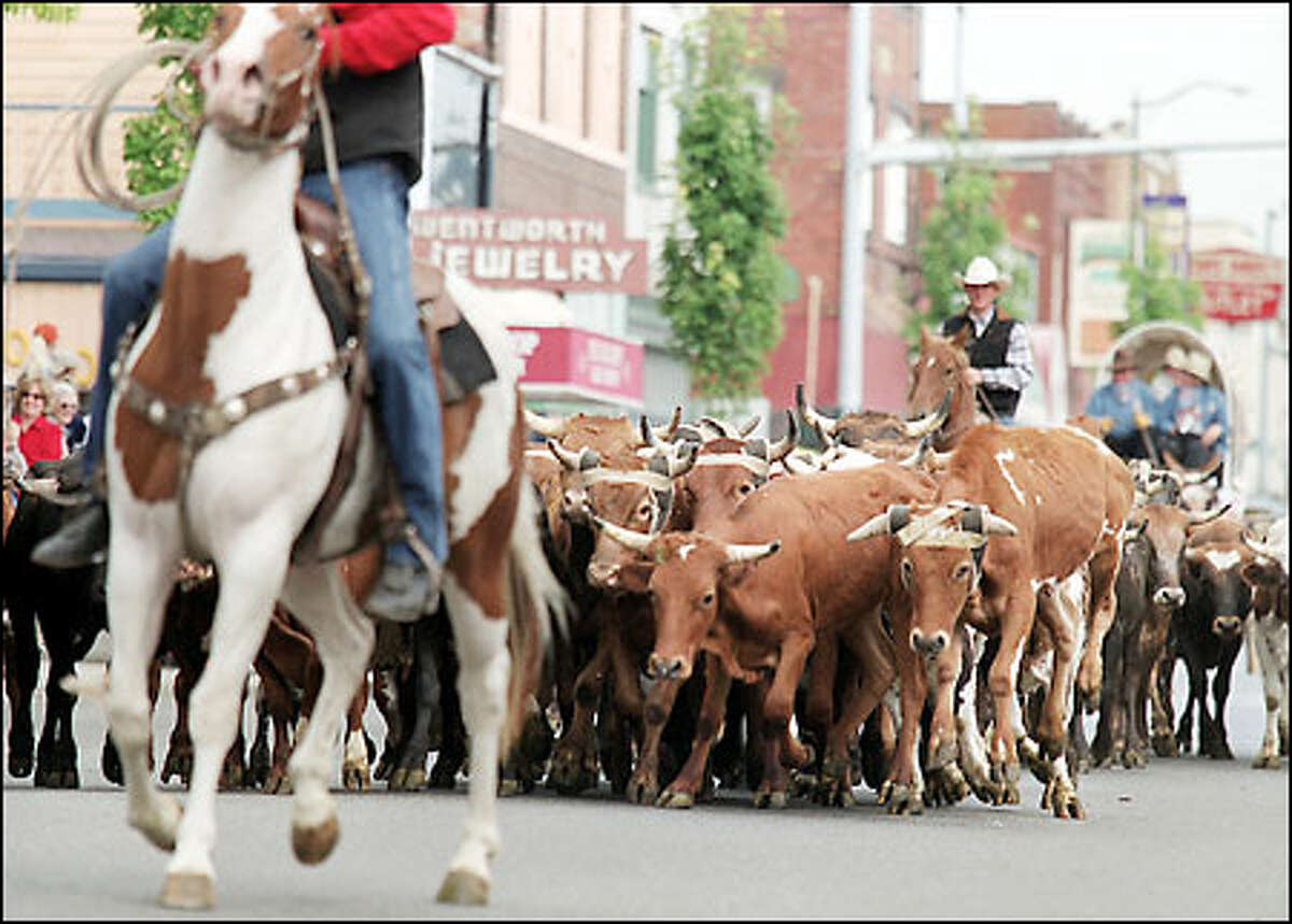 Professional rodeo cowboys had their hands full herding 60 Mexican Corriente cattle down South Meridian Street through downtown Puyallup to the Puyallup Fairgrounds. The fair opens tomorrow and runs through September 23.