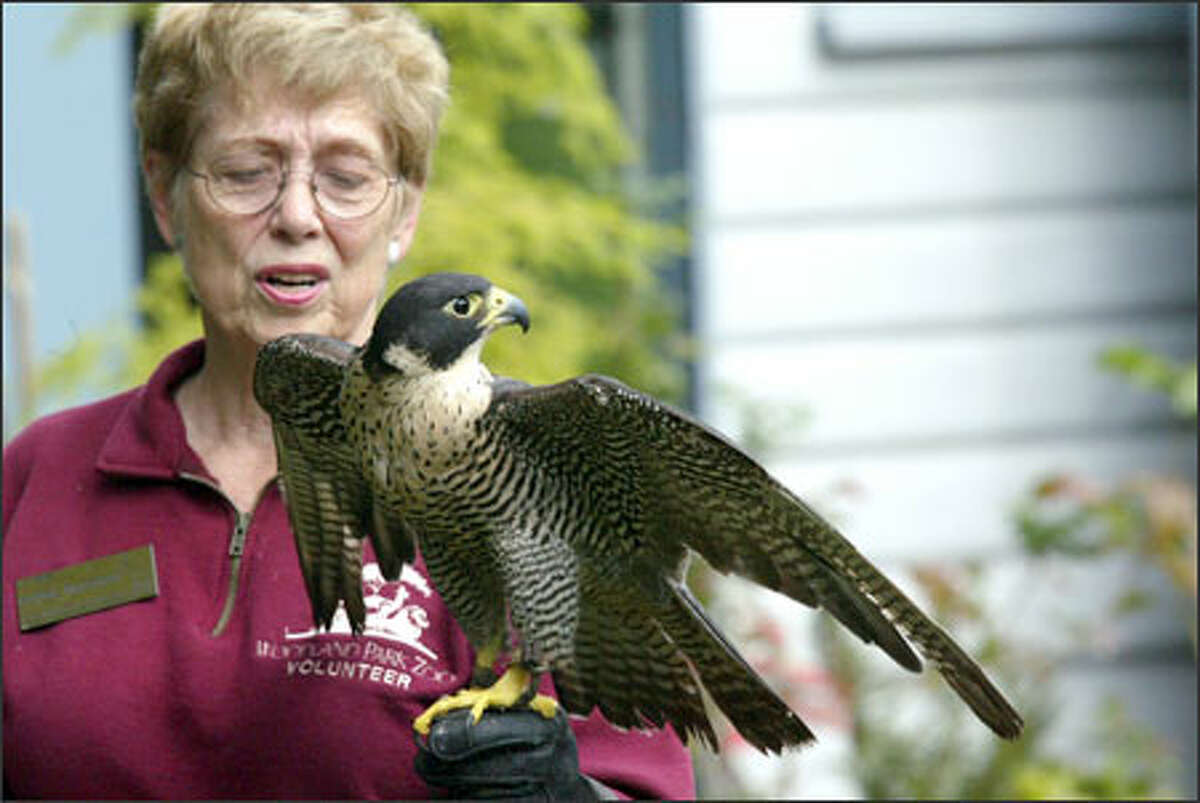 Zoo volunteer Bonnie McDonald holds a peregrine falcon that is being cared for at the zoo after being found injured.