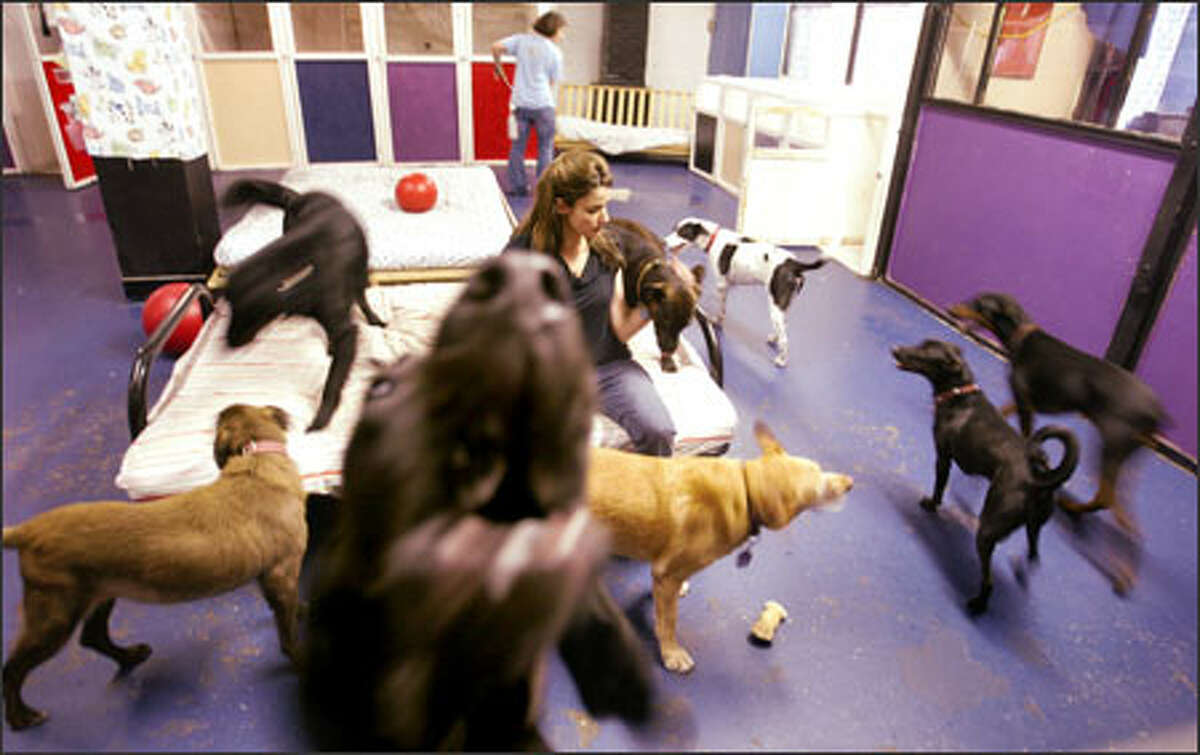 The place is a blur of activity as Jean Peters plays with some of her larger clients at her doggie day care, Wags2Whiskers, in Belltown.