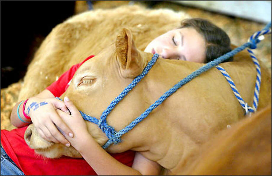 "In a scene straight out of Disney, 11-year-old Jewell Dyer of Wahkiakum County finds a cozy spot yesterday as she takes a nap on her sister's 6-month-old Charolais shorthorn calf, named ""Monday."" Jewell also has a cow, a Red Angus, that she is showing as part of 4-H activities at the Puyallup Fair. The fair runs through Sunday. Photo: Gilbert W. Arias, Seattle Post-Intelligencer / Seattle Post-Intelligencer"