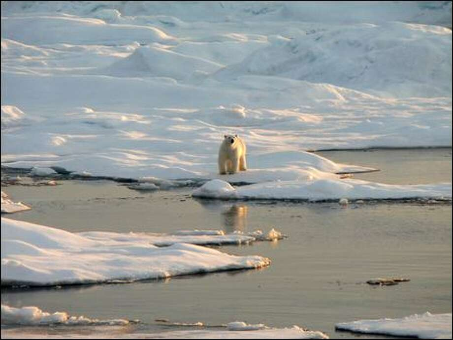 A polar bear stands on the edge of a block of sea ice, which is critical to its hunting style. The bears now are federally protected, in large part because ice is vanishing. (Steven Roberts / National Center For Atmospheric Research)