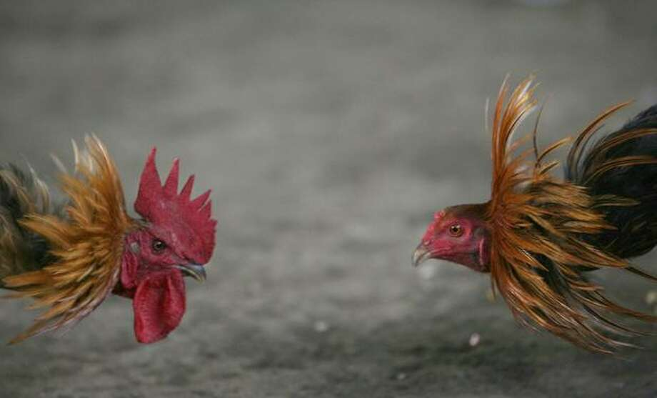 Cocks square up for a cockfighting contest in Dili, East Timor, in this 2007 file photo. Cockfighting is traditional and legal in many countries, but it's illegal in the U.S. Photo: Getty Images / Getty Images