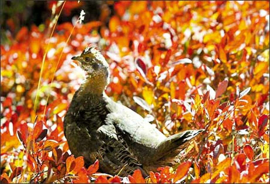 A blue grouse struts amid blazing foliage near Reflection Lakes. Also, marmots and pikas are a common sight on trails through rocky areas, and bears sometimes can be seen grazing on huckleberries. Photo: Joshua Trujillo, Seattlepi.com / seattlepi.com
