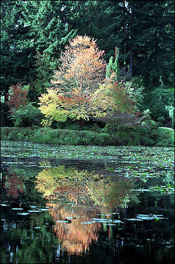 A colorful katsura tree (Cercidiphyllum japonicum) is reflected in the lower lake of Terry Welch's magnificent garden. Photo: Gilbert W. Arias, Seattle Post-Intelligencer / Seattle Post-Intelligencer
