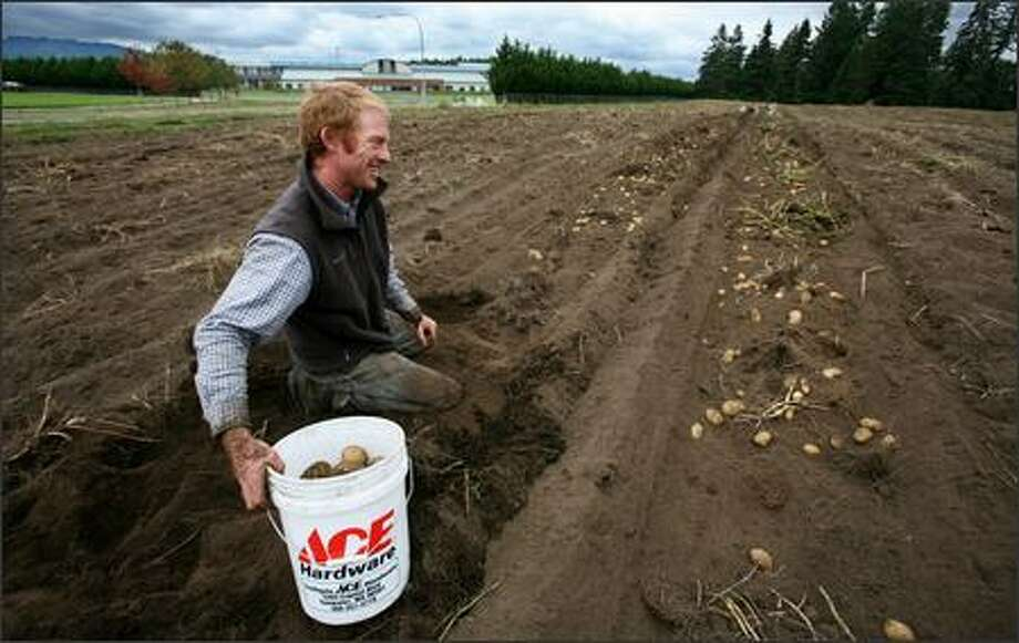 Kirsop Farm owner Colin Barricklow picks Yukon gold potatoes in a Tumwater field. The farm sells to the Olympia School District and hopes to start supplying Black Hills High School in the background. Photo: Paul Joseph Brown, Seattle Post-Intelligencer / Seattle Post-Intelligencer