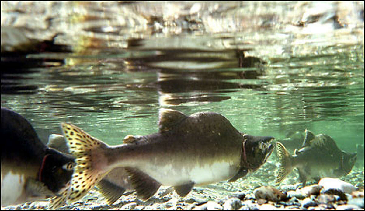 The Skagit River is still a home to wild salmon runs. Humpies, or pink salmon, make their run upstream into spawning beds as the fall rains begin to build up the water level in the Skagit River near Marblemount. Pink salmon return every two years to spawn, and the estimated return this year is close to 1 million fish.