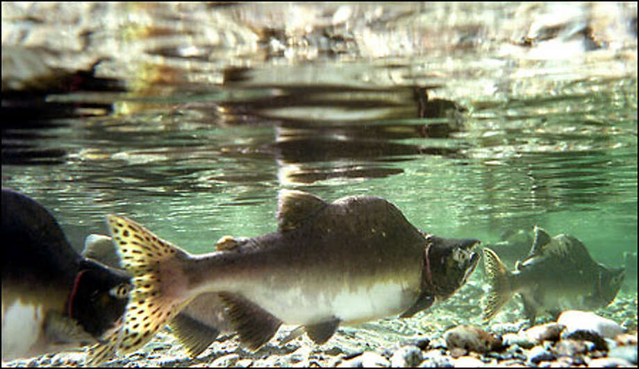 The Skagit River is still a home to wild salmon runs. Humpies, or pink salmon, make their run upstream into spawning beds as the fall rains begin to build up the water level in the Skagit River  near Marblemount. Pink salmon return every two years to spawn, and the estimated return this year is close to 1 million fish. Photo: Gilbert W. Arias, Seattle Post-Intelligencer / Seattle Post-Intelligencer