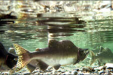 Humpies, or pink salmon, make their run upstream into spawning beds as the fall rains begin to build up the water level in the Skagit River yesterday near Marblemount. Pink salmon return every two years to spawn, and the estimated return this year is close to 1 million fish.