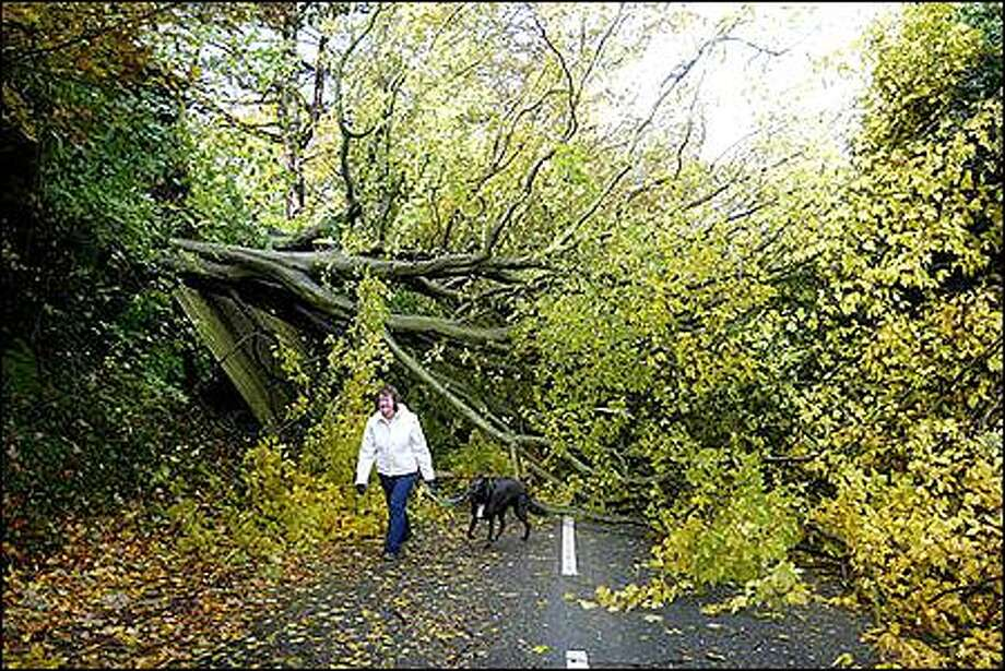 Norma Clague walks her dog Sparkey past a fallen tree in Frodsham, Cheshire, England, Sunday Oct. 27, 2002. Falling trees killed several people, and road, rail, air and sea transport were disrupted as strong gales buffeted England and Wales. The Meteorological Office reported gales of up to 80 mph (130 kph) were lashing Britain. (AP Photo/PA, Martin Rickett) Photo: Associated Press / Associated Press