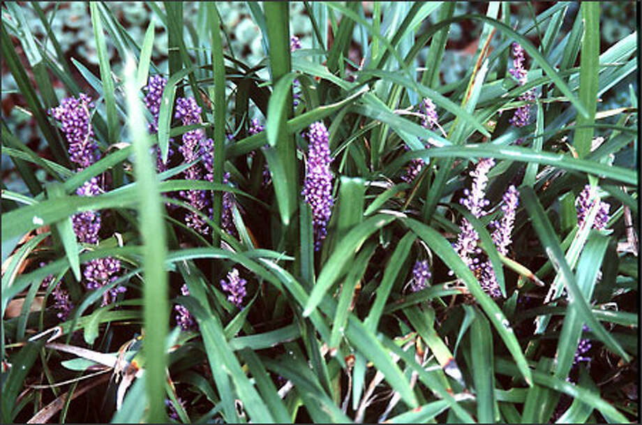 The perennial Liriope muscari is a shade-loving ground cover. The blossoms can be quite showy. Photo: Marty Wingate, For The Seattle Post-Intelligencer / for the Seattle Post-Intelligencer