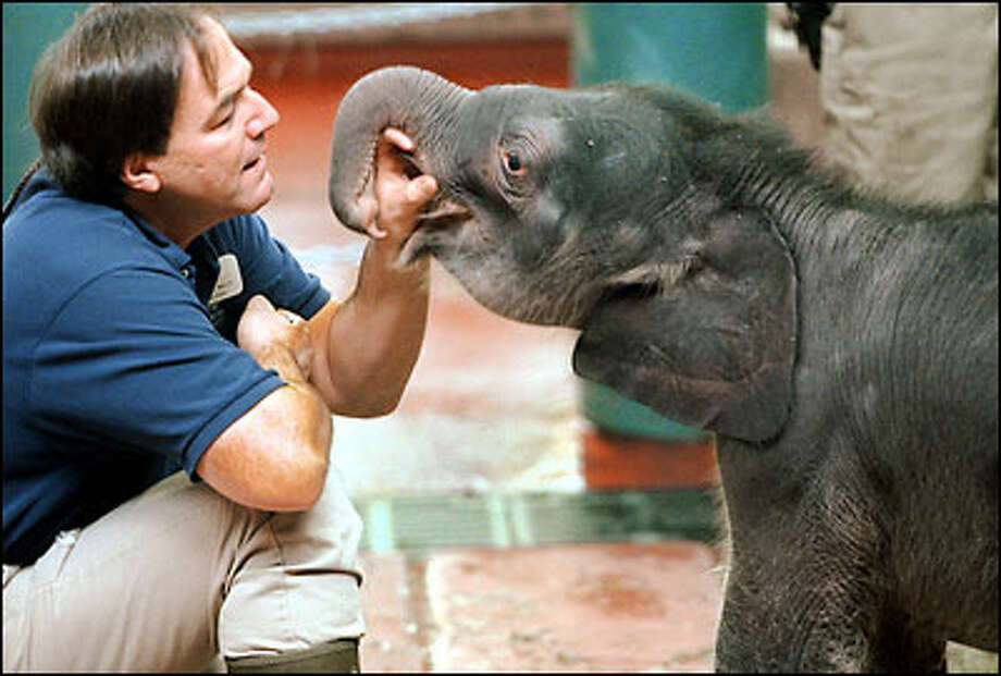 Lead elephant keeper Pat Maluy socializes with Woodland Park Zoo's baby elephant. Hundreds came to see the newest member of the zoo's herd yesterday. Some waited as long as 90 minutes to get a 10-minute look at the 3-day-old. Photo: Meryl Schenker, Seattle Post-Intelligencer / Seattle Post-Intelligencer