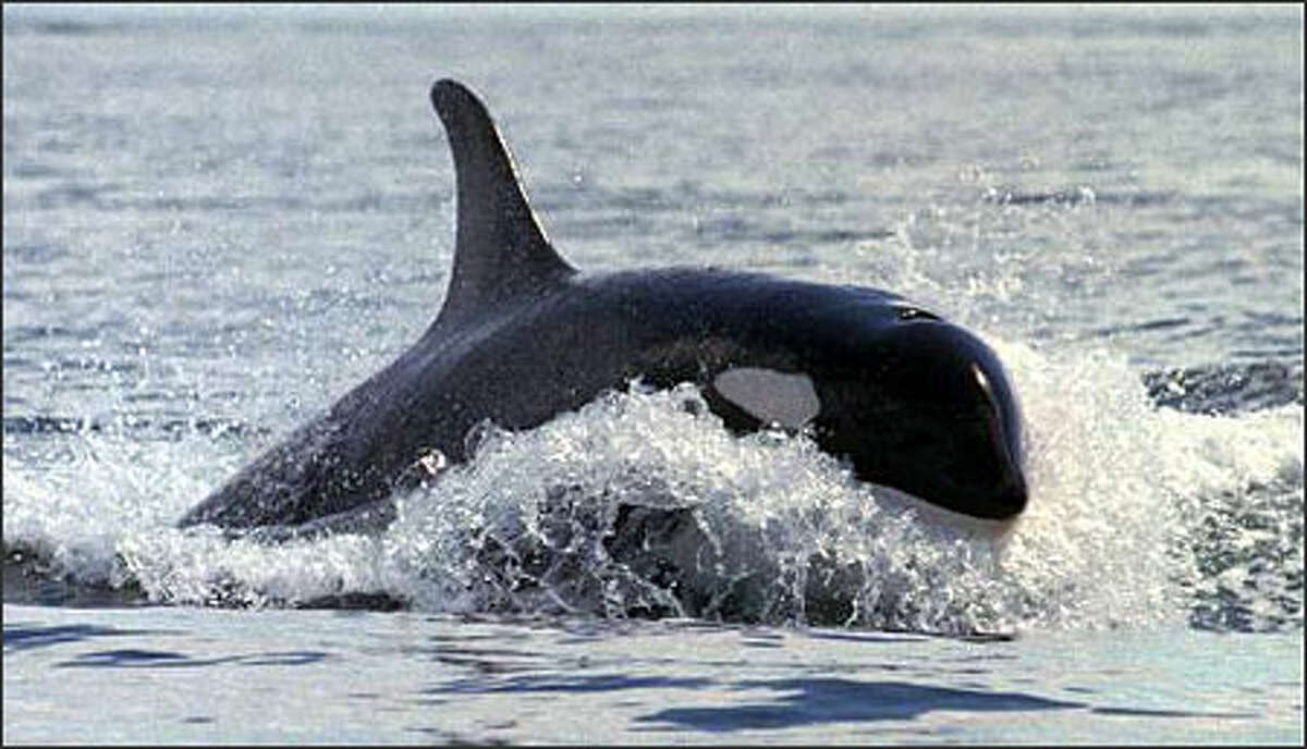 An Orca whale surfs for a moment in the wake of another in Haro Strait, off the coast of San Juan Island, Wash., Tuesday, Aug. 5, 1997. New Canadian rules will slow down vessels in Haro Strait.(AP Photo/Elaine Thompson)