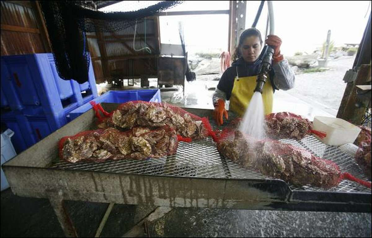 Washington supports the nation's largest shellfish industry, which Gov. Inslee fears will be put at risk by the Trump administration's plans for offshore oil drilling. Here, Patricia Calzada washes Pacific oysters for Taylor Shellfish's Samish Bay store, which sells an average of 500 dozen oysters each weekend along with other fresh seafood.