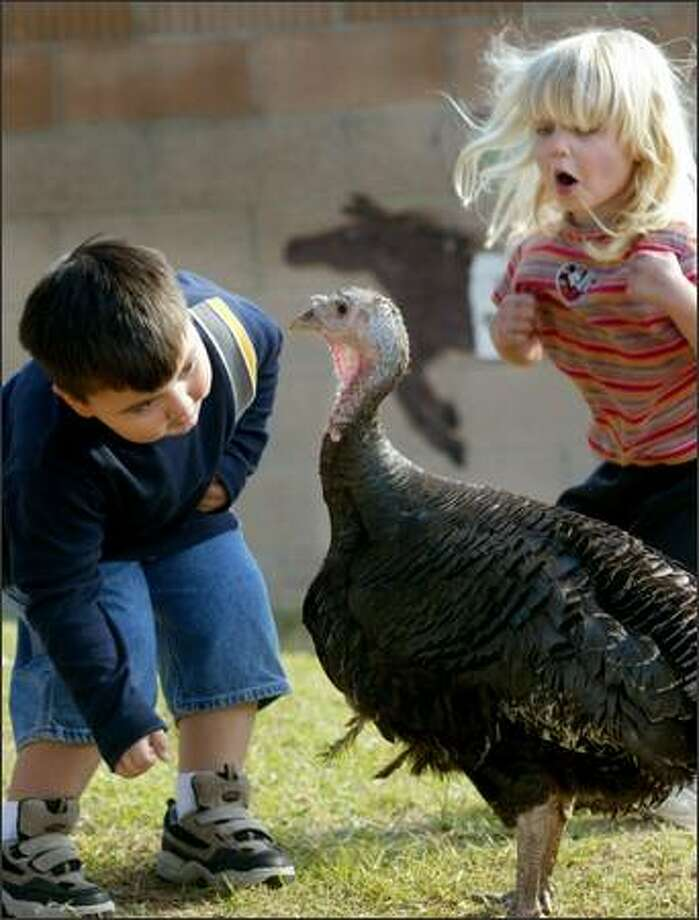Three-year-old Nicholas Ibarra, left, takes a close look at a visitor to Good Sheperd Preschool in Westminster, Calif.,  as fellow student Kayla Niemczyk, 3, flaps her wings and practices her turkey trot, Tuesday, Nov. 25, 2003.  The hen turkey, a pet of an animal control officer, was on loan to the children Monday and Tuesday. (AP Photo/Orange County Register, Jebb Harris) Photo: Associated Press / Associated Press