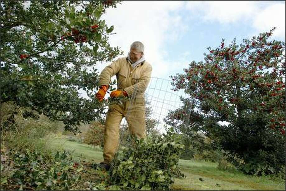 "Gordy Wilson takes holly's sharp barbs seriously, wearing a sturdy canvas suit, thick gloves and heavy work boots. ""You hold it nice and loose, or it'll go through the gloves otherwise,"" says Wilson, who harvests 50,000 to 60,000 pounds a year. Photo: Meryl Schenker, Seattle Post-Intelligencer / Seattle Post-Intelligencer"