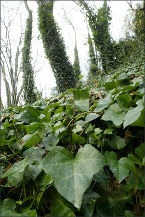 Unchecked ivy covers trees in Kinnear Park in Seattle and can kill them. The damage worsens in winter. Photo: Dan DeLong, Seattle Post-Intelligencer / Seattle Post-Intelligencer