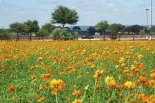 Fields of dazzling, sun-brilliant cosmos waving in the wind and lining the roadway beckoned, causing an impromptu u-turn into the parking lot of Wildseed Farms Market Center located outside of Fredericksburg.
