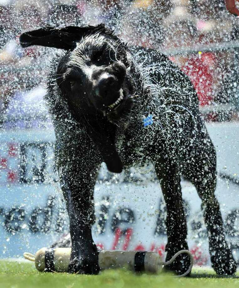 "In this photograph taken by AP Images for Purina, Hunter, a 3-year-old Labrador Retriever from Clearwater, Fla., shakes off water after competing in the ""fetch it"" competition of the Purina Incredible Dog Challenge at Centennial Olympic Park, Saturday, April 2, 2011, in Atlanta. Photo: AP IMAGES FOR PURINA"