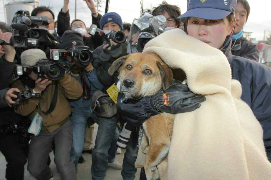 A dog, rescued by the Japan Coast Guard on April 1, 2011 after being found drifting atop the remains of the roof of a house off the coast of Kesennuma at the Pacific Ocean, arrives at Shiogama port on April 2. Photo: AFP/Getty Images