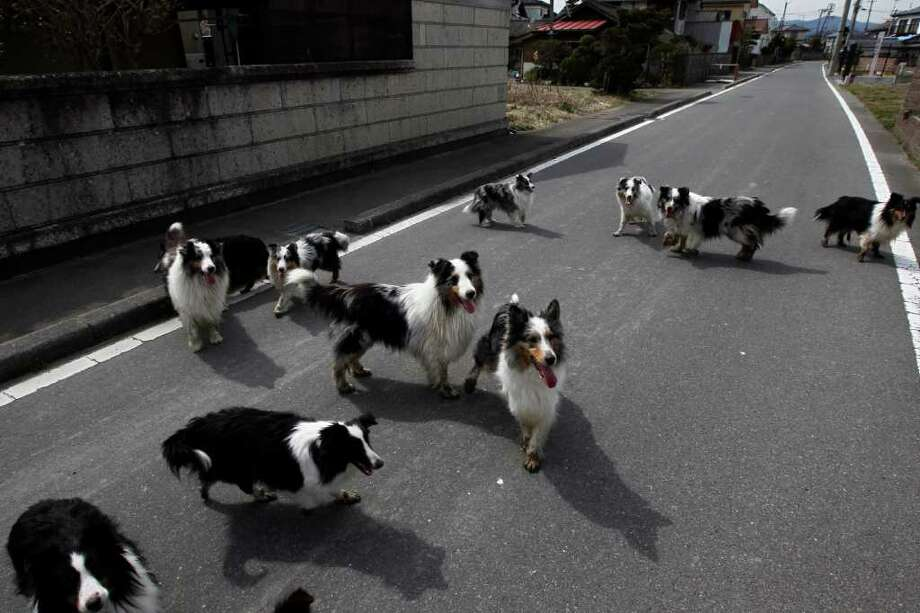 Dogs wander around a town of Minami Soma, inside the deserted evacuation zone established for the 20 kilometer radius around the Fukushima Dai-ichi nuclear complex in northeastern Japan Thursday, April 7, 2011. Photo: Hiro Komae, AP