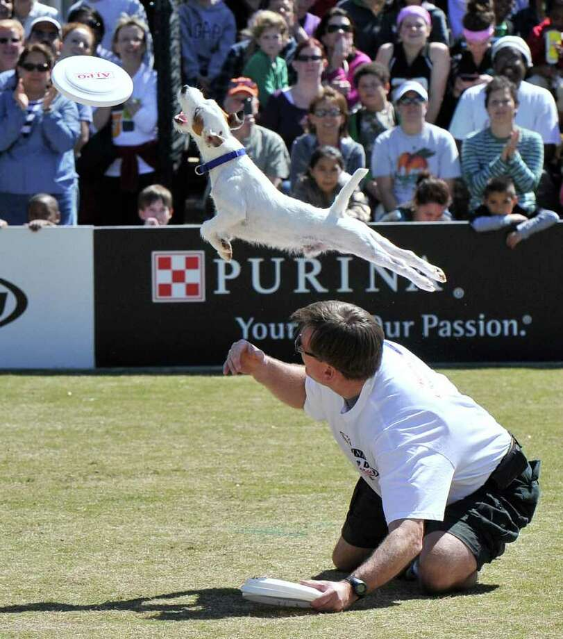 In this photograph taken by AP Images for Purina, Auggie, a three year old Russell Terrier leaps over his owner Tim Geit, of Atlanta, while competing in the freestyle flying disc competition of the Purina Incredible Dog Challenge at Centennial Olympic Park, Saturday, April 2, 2011, in Atlanta. Photo: AP IMAGES FOR PURINA