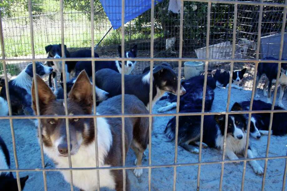 Border collies rest under the shade of a tarp after the Marion County Humane Society shut down a puppy mill operation on Tuesday, April  5, 2011 in Jefferson, Texas.  Photo: AP Photo/The News Messenger,  Courtney Case