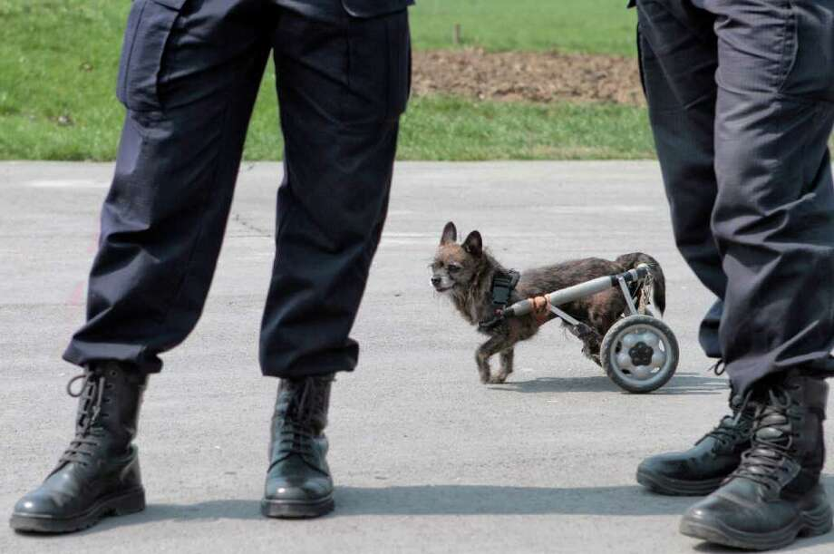 Hercules, a small dog that was rescued after an accident which left its back legs paralyzed, walks behind gendarmes during a protest in Bucharest, Romania, Tuesday, April 5, 2011, against euthanasia of stray dogs and new regulations to be voted by parliament regarding ways to deal with the stray dog issue. Photo: Vadim Ghirda, ASSOCIATED PRESS / AP2011
