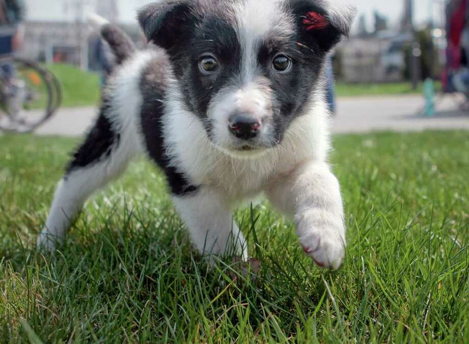 Panda, a rescued stray puppy, strolls on the grass during a protest in Bucharest, Romania, Tuesday, April 5, 2011, against euthanasia of stray dogs and new regulations to be voted by parliament regarding ways to deal with the stray dog issue. According to protesters gathered outside Romania's parliament, the new law would allow local administration to put down stay dogs and also create ways to divert funds for stray dogs issue to political parties. According to local media there are 50,000 stray dogs in the Romanian capital, of which 60 percent are sterilized. Photo: Vadim Ghirda, ASSOCIATED PRESS / AP2011