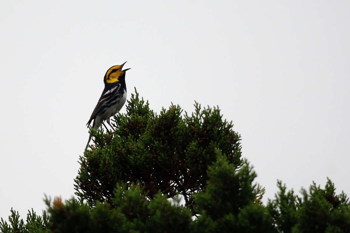 A golden-cheeked warbler calls from its perch high on an Ashe juniper tree in the conservation easement.