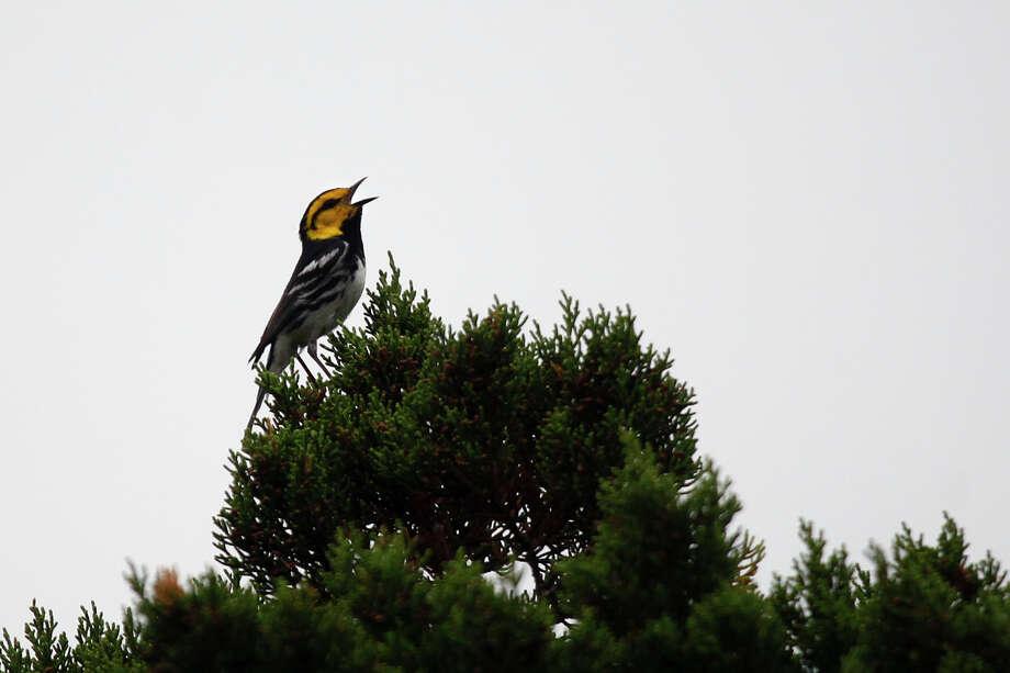 A golden-cheeked warbler calls from its perch high on an Ashe juniper tree in the conservation easement. Photo: LISA KRANTZ/lkrantz@express-news.net / SAN ANTONIO EXPRESS-NEWS