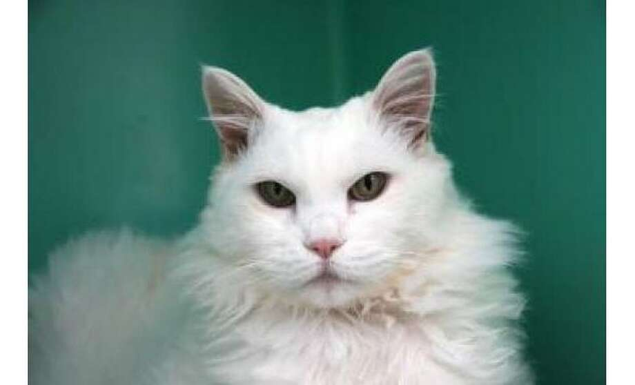 Angel: Domestic Medium Hair / Mix, 