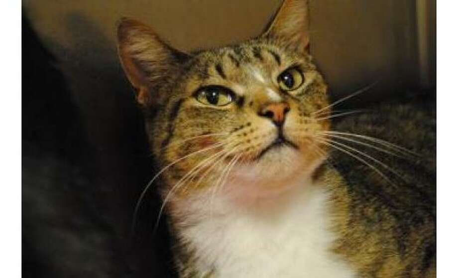 Mr Bojangles: Domestic Shorthair / Mix Male | Small, 4 years, 1 month Adoption Status: Available Photo: The Humane Society