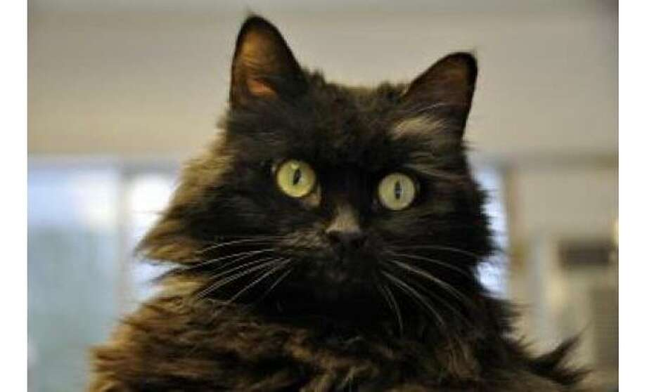 Bella: Domestic Longhair / Mix, Female | Medium, 7 years, 4 months Adoption Status: Available Photo: The Humane Society