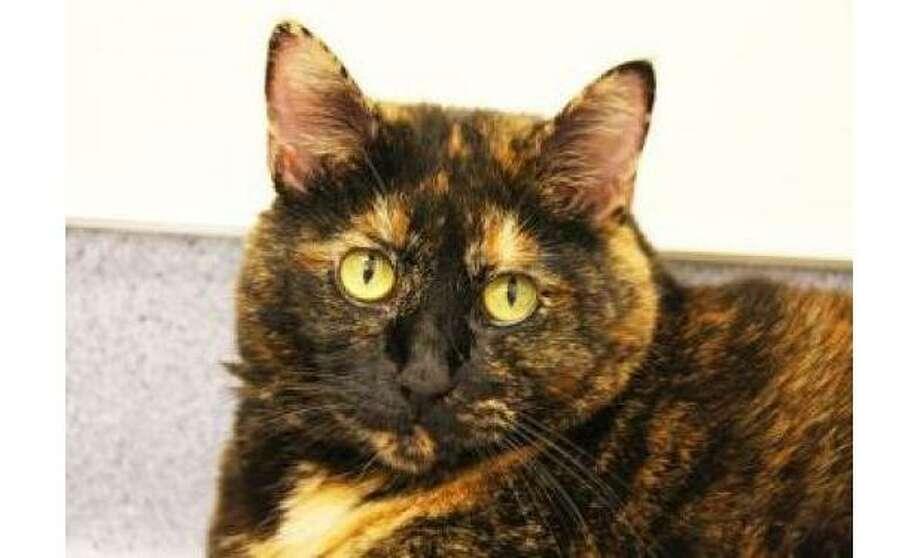 Zita: Domestic Shorthair / Mix, Female | Medium 7 years, 8 months Adoption Status: Available Photo: The Humane Society