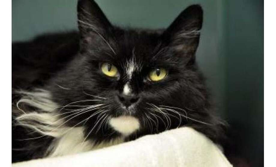 Thelma: Domestic Longhair / Mix, Female | Medium, 7 years, 3 months