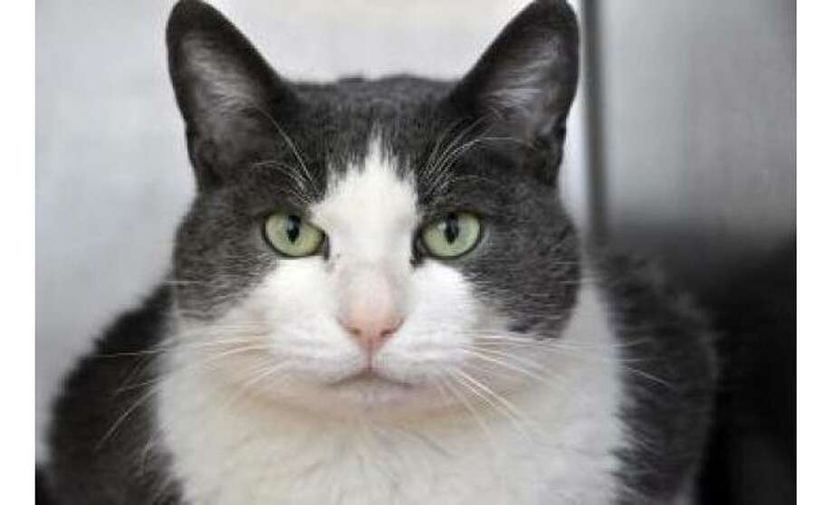 Maxwell: Domestic Shorthair / Mix, Male | Small 10 years, 6 months Adoption Status: Available Photo: The Humane Society