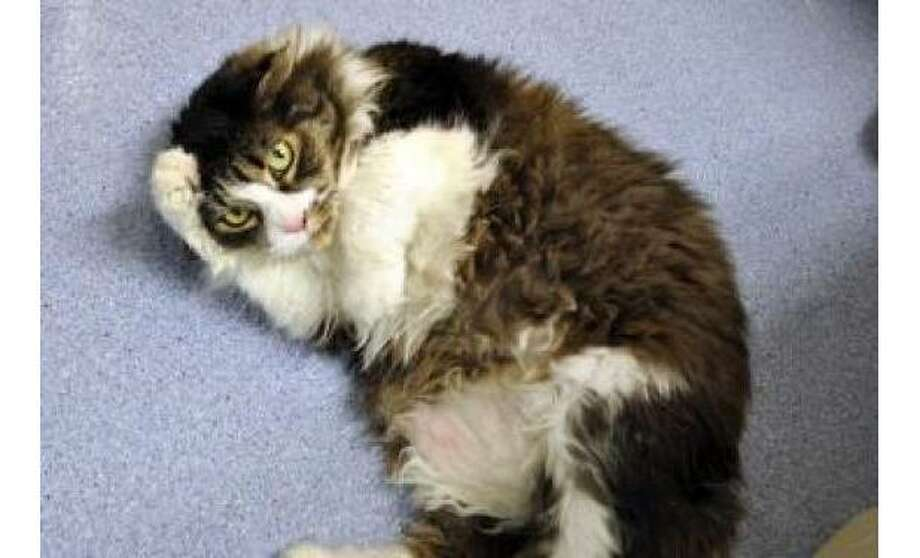 Marie: Domestic Longhair / Mix, Female | Small 7 years, 1 month, Adoption Status: Available Photo: The Humane Society