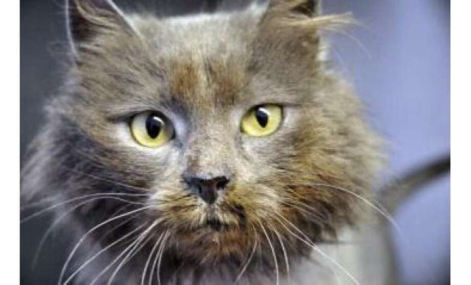 Clarence: Domestic Medium Hair / Mix,  Male | Medium, 2 years, 3 months Adoption Status: Available Photo: The Humane Society