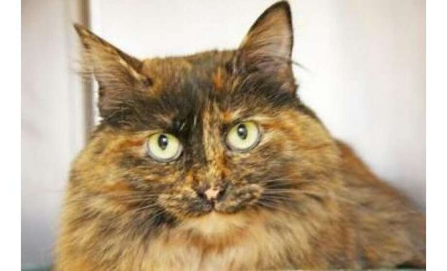 Napoli: Domestic Shorthair / Mix, Female | Small 2 years, 3 months Adoption Status: Available Photo: The Humane Society