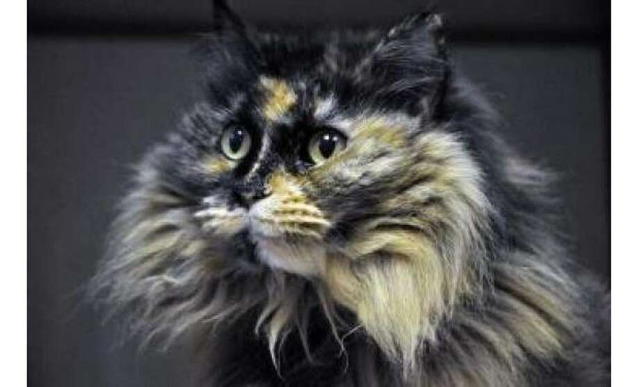 Cleo: Maine Coon / Mix, Female | Large