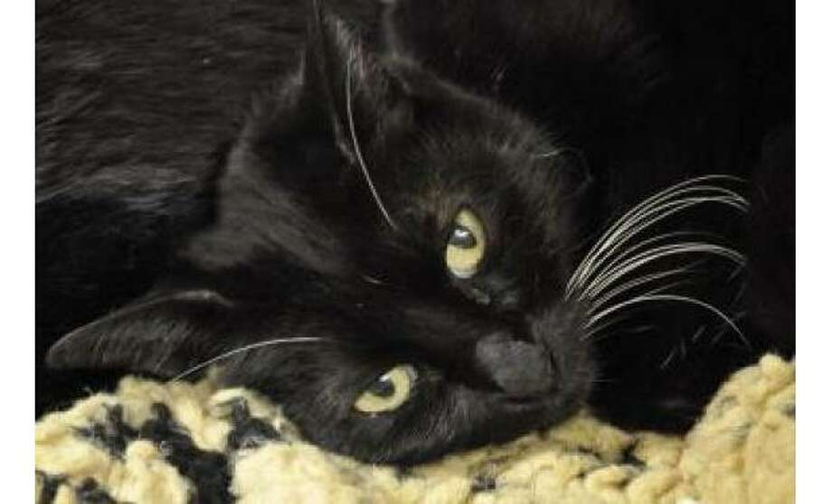 Yuri: Domestic Shorthair / Mix, Female | Medium, 9 years, 2 months