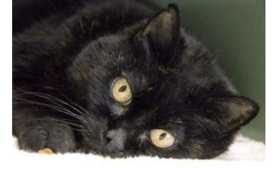 Panther: Domestic Shorthair / Mix, Female   Small, 14 years, 1 month Adoption Status: Available Photo: The Humane Society