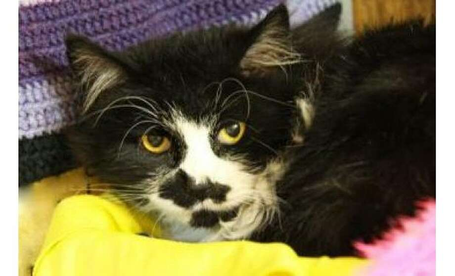 Carlton: Domestic Longhair / Mix, Male | Medium, 6 years, 4 months