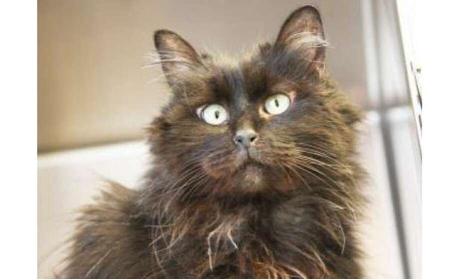Ernie: Domestic Longhair / Mix, Female | Small