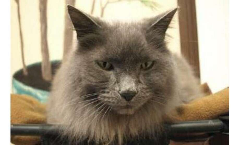 Eli: Domestic Longhair / Mix, Male | Small, 