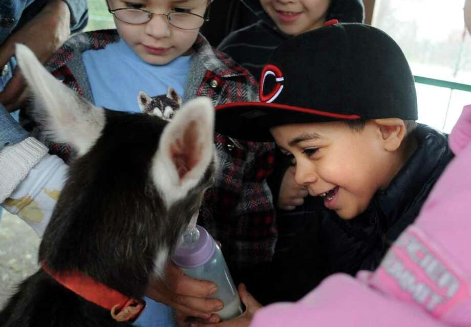 Bradley School kindergartener Jason Carrillo feeds two-week-old baby goat, Treasure, Tuesday, April 12, 2011 at the school in Derby during a visit from Derby Superintendent Steve Tracy, who raises goats on his farm in Goshen. Photo: Autumn Driscoll / Connecticut Post
