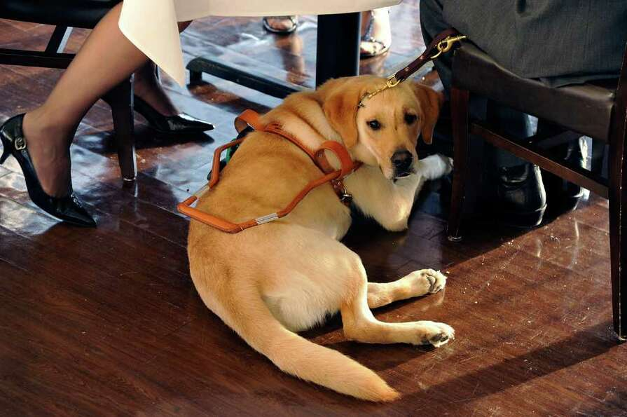 A working Yellow Labrador Retriever with his owner during the 2011 Art Beyond Sight Fashion Show Gal